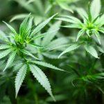 Leaders In Long Beach Endorse Local Medical Marijuana Measures